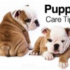 Tips for Taking Care of Your Bulldog