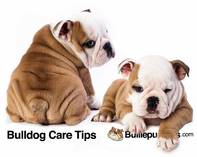 bulldog-care-tips