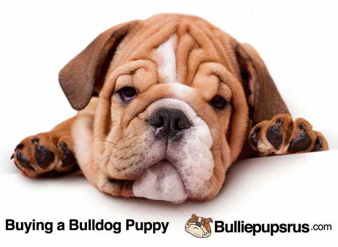the-bulldog-puppy