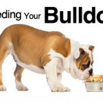 feeding-your-bulldog-feat