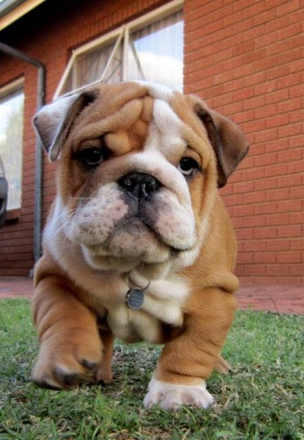 English Bulldog Pictures - I am the Boss