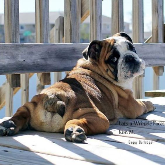 English Bulldog Pictures - Lazy... Whaaaaat?