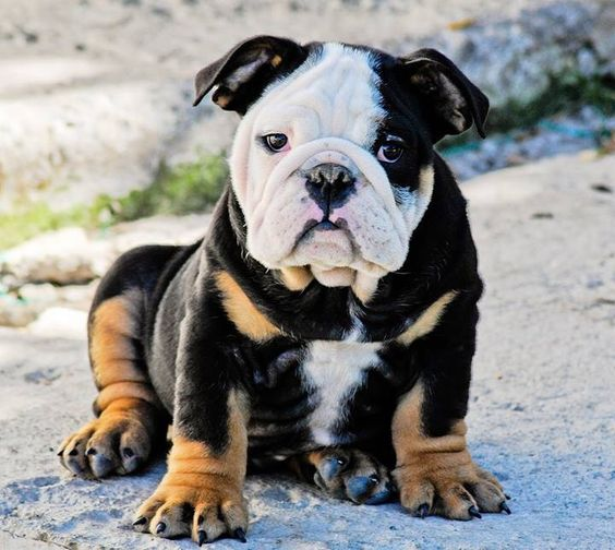English Bulldog Pictures - Serious