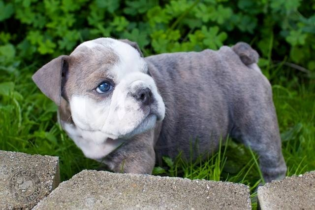 Blue English Bulldog Pictures - 2