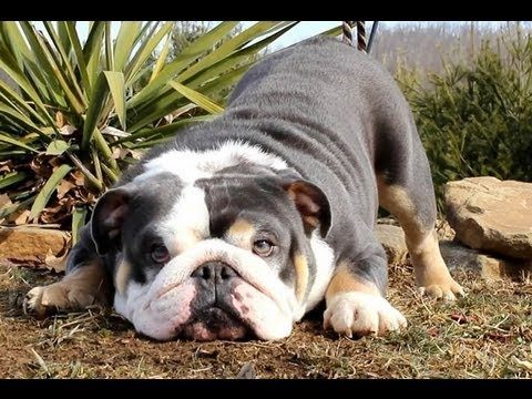 Blue English Bulldog Pictures - 4