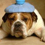 English Bulldog Health Problems