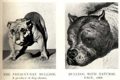 English Bulldog in 1800s