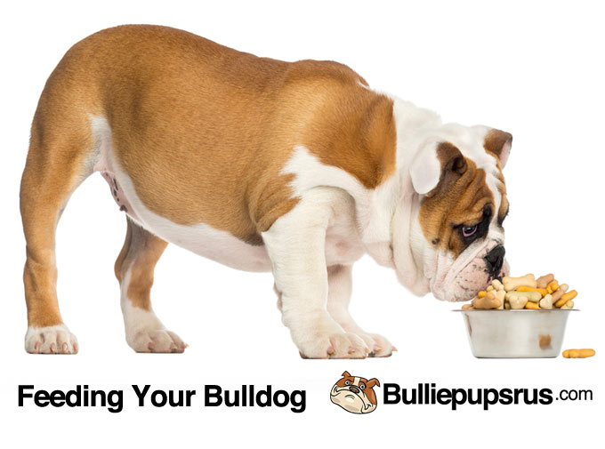 feeding-your-bulldog