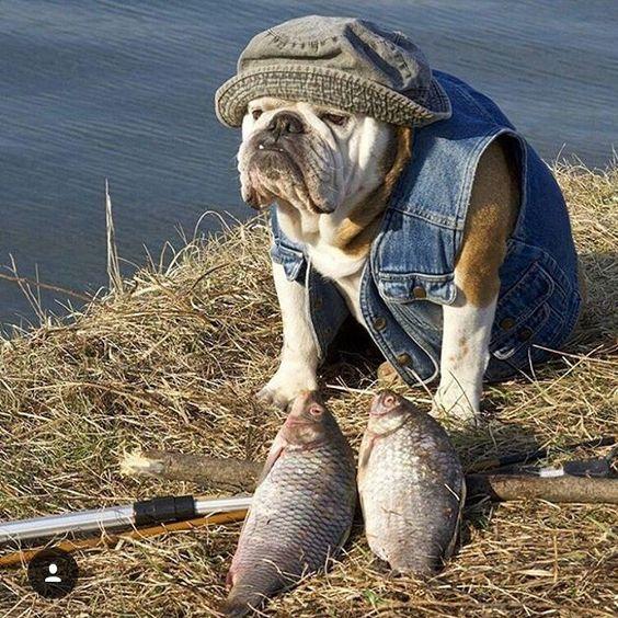English Bulldog Fisherman