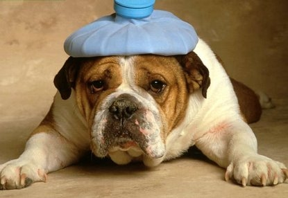 English Bulldog Health Problems