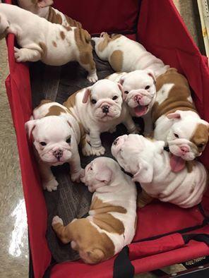 English Bulldog Pack