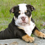 Mini Bulldog