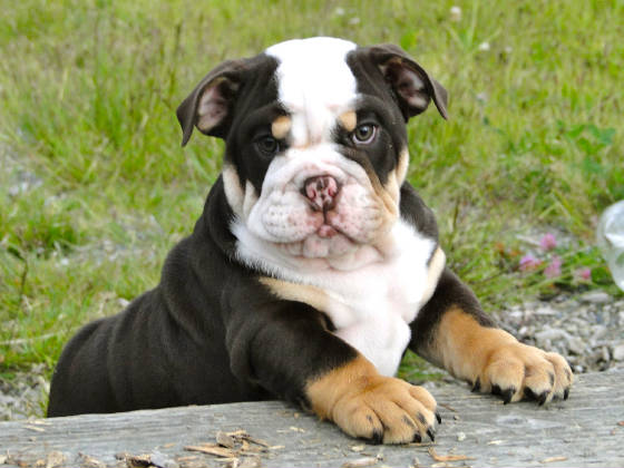 french bulldog seizures mini bulldog miniature bulldog bulliepupsrus com